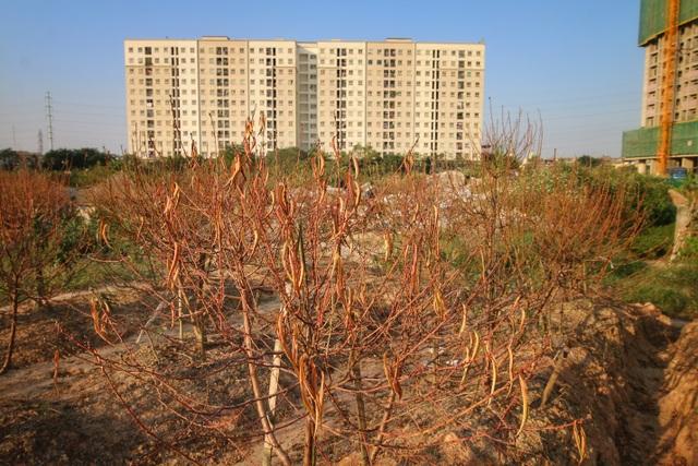 """Người dân bất lực nhìn hàng nghìn gốc đào """"chết khô"""" trước vụ Tết nguyên đán - 3"""