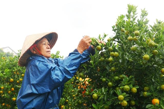 Thủ phủ quất cảnh miền Trung phấn khởi chờ mùa Tết bội thu - 7