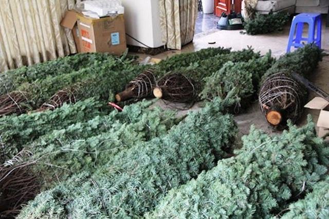 Thông tươi chơi Noel, 30 triệu đồng/cây trưng mấy hôm rồi làm củi - 2