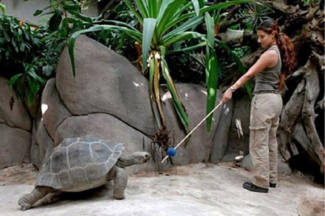 Rùa khổng lồ có thể được huấn luyện và ghi nhớ các kỹ năng trong nhiều năm - 1