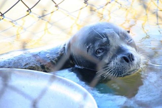 Ngư dân cứu cá thể hải cẩu dạt vào bờ biển - 4