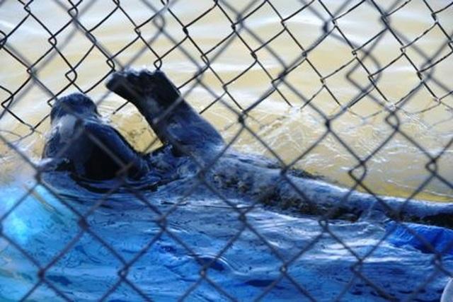 Ngư dân cứu cá thể hải cẩu dạt vào bờ biển - 5