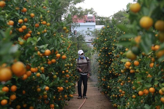 Nhọc nhằn nghề trồng quất cảnh - 2
