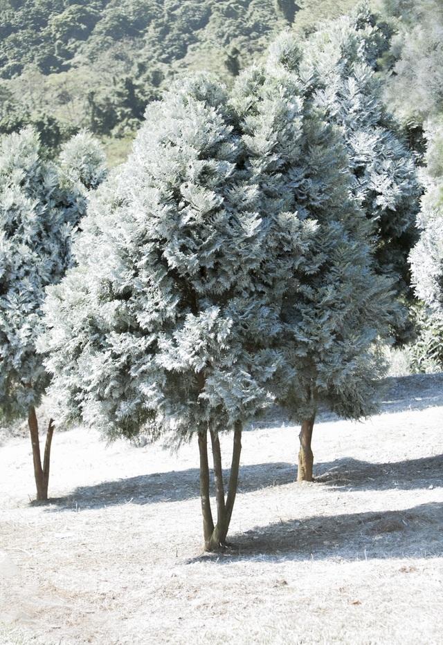 """Giới trẻ đổ xô về rừng bách xanh phủ tuyết trắng ở Ba Vì check-in """"sống ảo"""" - 1"""