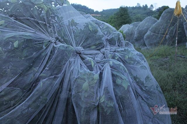 Đồi cam 6 tỷ đồng kỳ lạ nhất Việt Nam, 2.000 cây mắc màn trắng cả rừng - 5