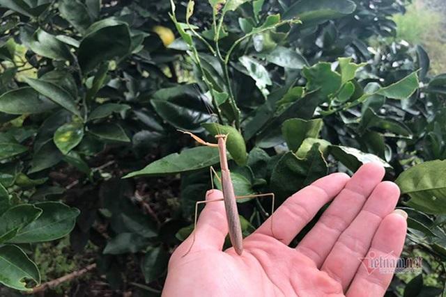 Đồi cam 6 tỷ đồng kỳ lạ nhất Việt Nam, 2.000 cây mắc màn trắng cả rừng - 6