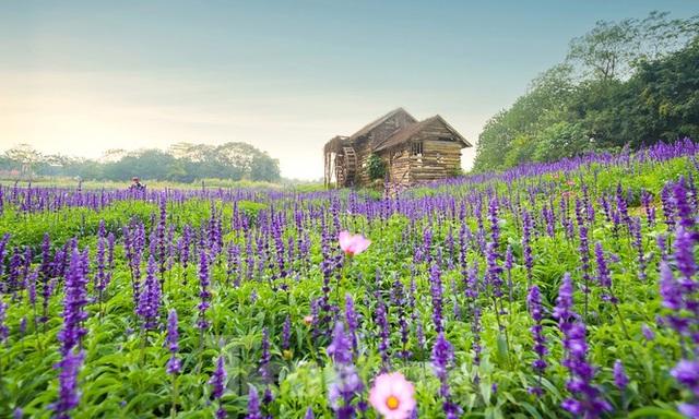 Cánh đồng hoa Nữ hoàng xanh như trời Âu giữa Hà Nội - 8