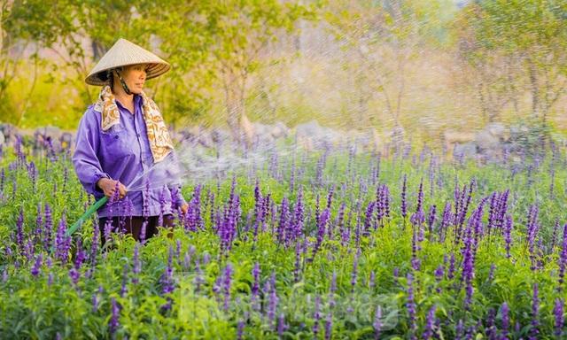 Cánh đồng hoa Nữ hoàng xanh như trời Âu giữa Hà Nội - 9