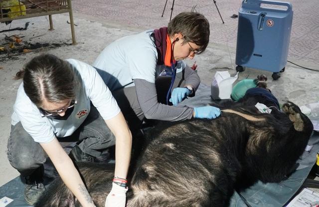 Gấu ngựa nặng 140kg bị nhét trong cốp xe taxi - 2
