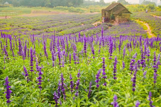 Lạc vào cánh đồng hoa Nữ hoàng xanh lãng mạn như châu Âu giữa lòng Hà Nội - 8