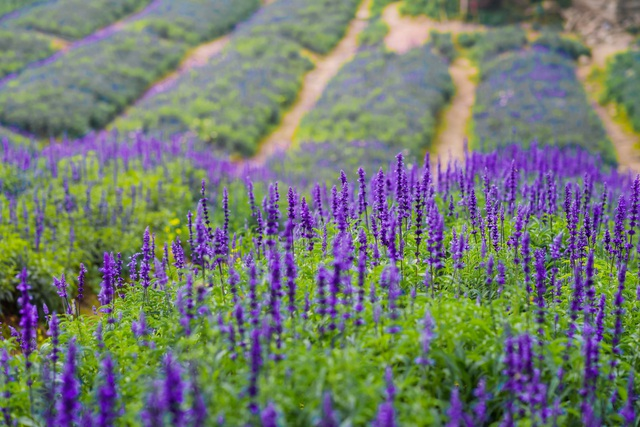 Lạc vào cánh đồng hoa Nữ hoàng xanh lãng mạn như châu Âu giữa lòng Hà Nội - 1