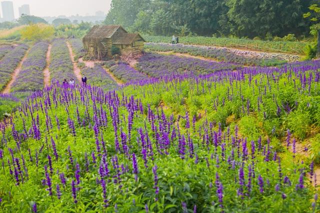 Lạc vào cánh đồng hoa Nữ hoàng xanh lãng mạn như châu Âu giữa lòng Hà Nội - 2
