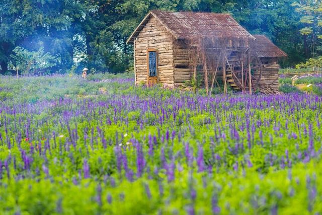 Lạc vào cánh đồng hoa Nữ hoàng xanh lãng mạn như châu Âu giữa lòng Hà Nội - 7