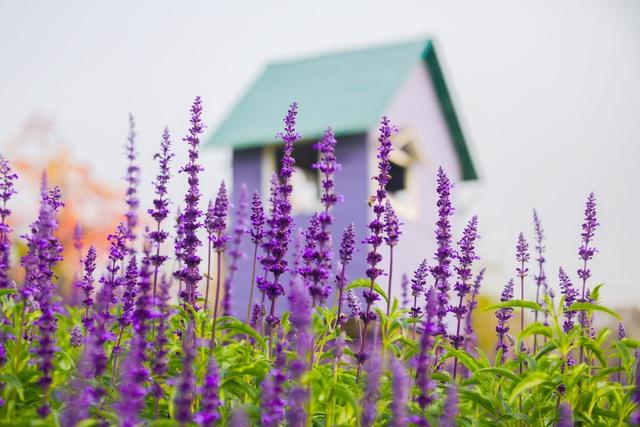 Lạc vào cánh đồng hoa Nữ hoàng xanh lãng mạn như châu Âu giữa lòng Hà Nội - 5
