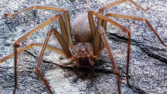 Phát hiện loài nhện độc mới ở Mexico - 1