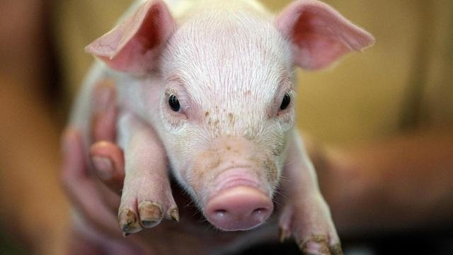 """Lợn trở thành nguyên đơn trong phiên tòa """"độc nhất vô nhị"""" tại Đức - 1"""