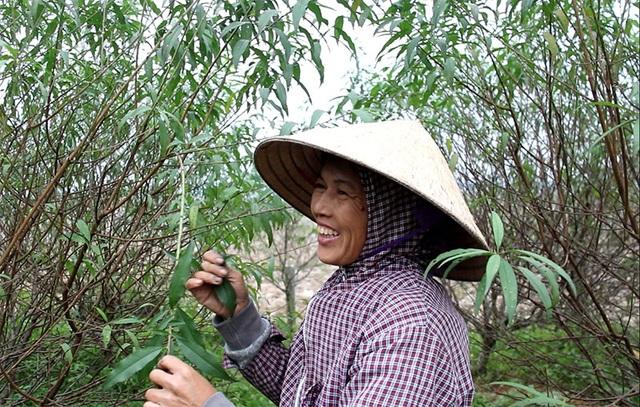 Hà Tĩnh: Tuốt lá đào ngày cuối năm kiếm tiền triệu - 6