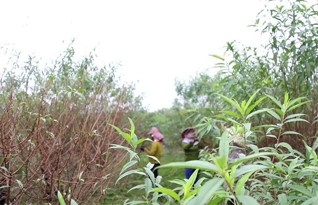 Hà Tĩnh: Tuốt lá đào ngày cuối năm kiếm tiền triệu - 5
