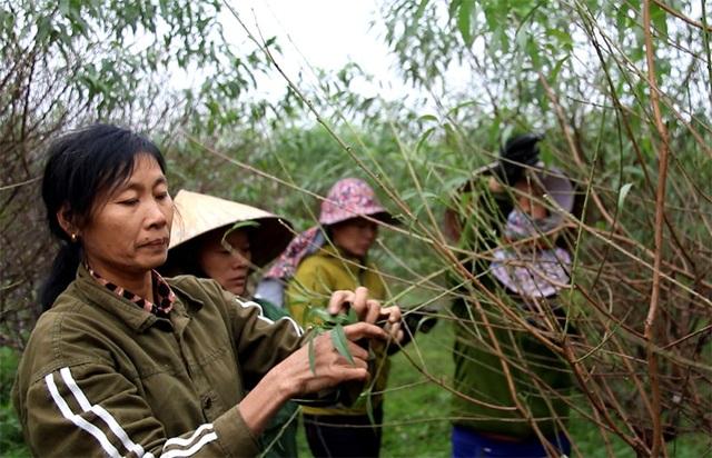 Hà Tĩnh: Tuốt lá đào ngày cuối năm kiếm tiền triệu - 4