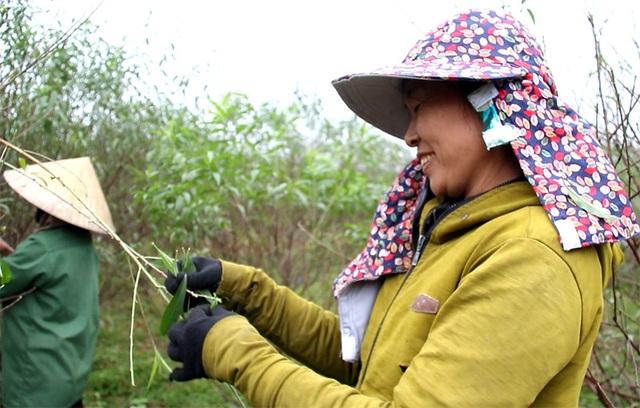Hà Tĩnh: Tuốt lá đào ngày cuối năm kiếm tiền triệu - 7