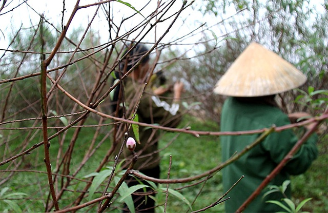 Hà Tĩnh: Tuốt lá đào ngày cuối năm kiếm tiền triệu - 3