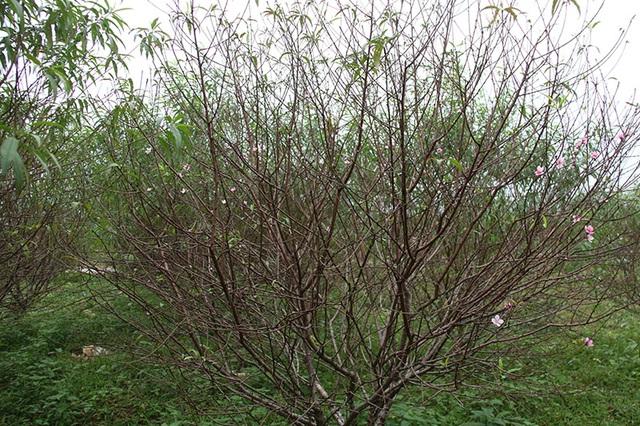 Hà Tĩnh: Tuốt lá đào ngày cuối năm kiếm tiền triệu - 9