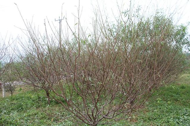 Hà Tĩnh: Tuốt lá đào ngày cuối năm kiếm tiền triệu - 2