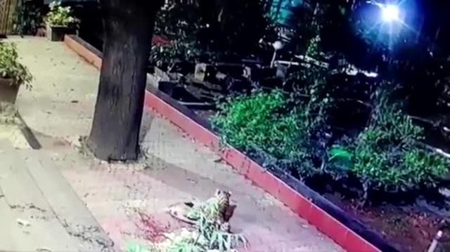 """Video: Báo hoa mai """"tàng hình"""" cắn cổ chó đi lạc trên vỉa hè Ấn Độ - 1"""