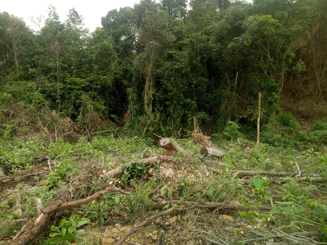 Quảng Bình: Dân và người nhà cán bộ ồ ạt chặt phá rừng tự nhiên để trồng keo - 2