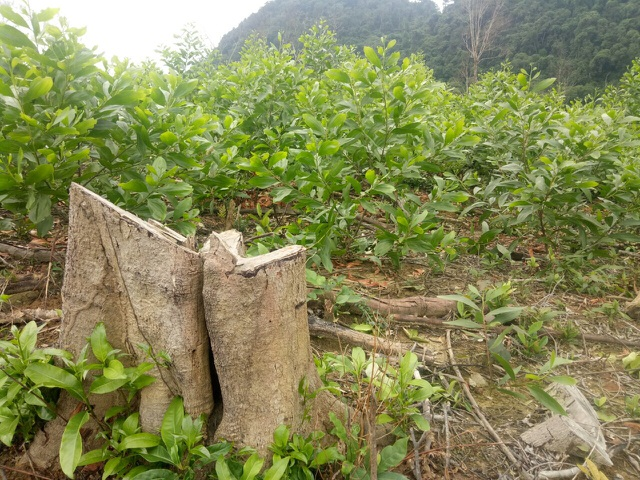 Quảng Bình: Dân và người nhà cán bộ ồ ạt chặt phá rừng tự nhiên để trồng keo - 5