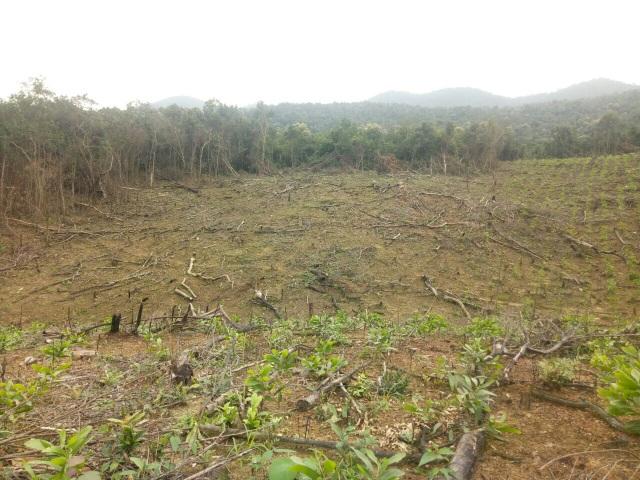 Quảng Bình: Dân và người nhà cán bộ ồ ạt chặt phá rừng tự nhiên để trồng keo - 1
