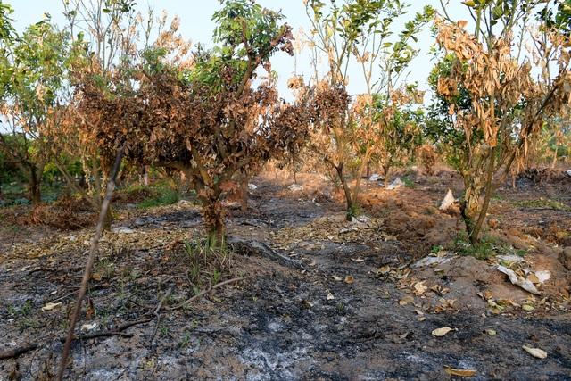 Nông dân Hưng Yên khóc hết nước mắt, nhìn vườn cây ăn quả bị đốt trụi - 2