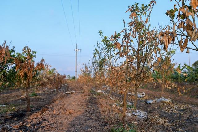 Nông dân Hưng Yên khóc hết nước mắt, nhìn vườn cây ăn quả bị đốt trụi - 9