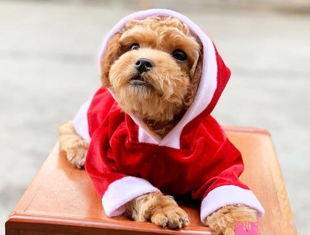 Chủ nhân rút hầu bao, chi đậm sắm đồ Noel cho thú cưng - 1