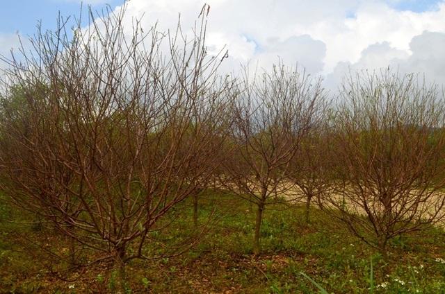 """Người trồng đào tuốt lá, tỉa cành … thấp thỏm """"ngóng"""" thời tiết - 4"""
