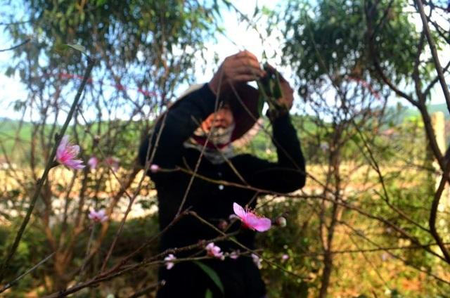 """Người trồng đào tuốt lá, tỉa cành … thấp thỏm """"ngóng"""" thời tiết - 1"""