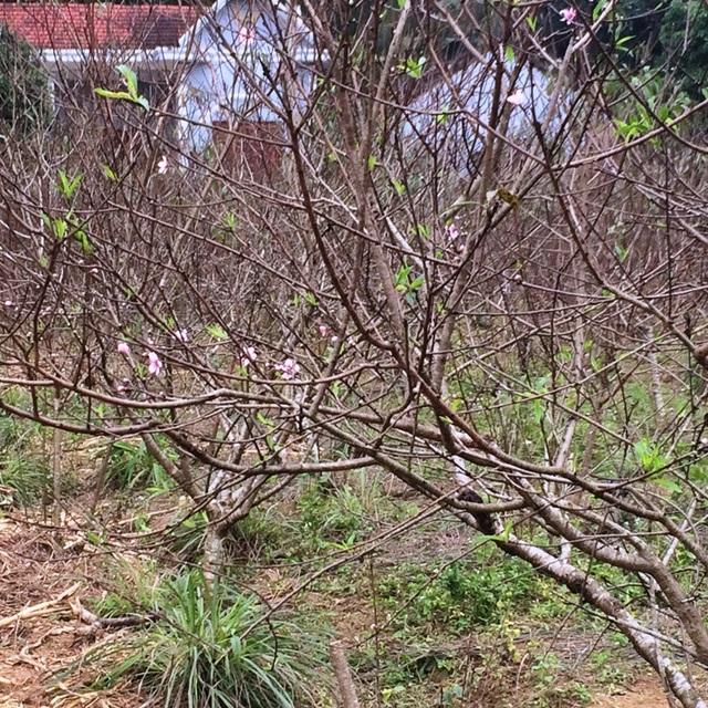 """Người trồng đào tuốt lá, tỉa cành … thấp thỏm """"ngóng"""" thời tiết - 6"""