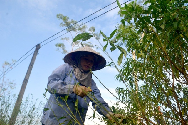 """Người trồng đào tuốt lá, tỉa cành … thấp thỏm """"ngóng"""" thời tiết - 2"""