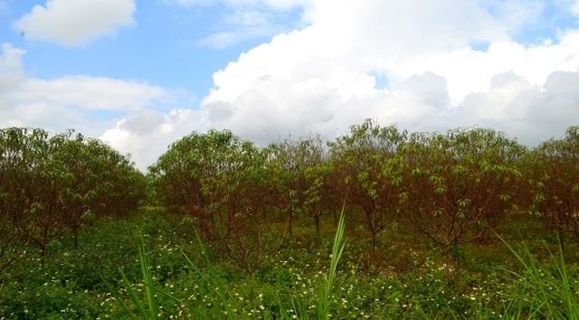 """Người trồng đào tuốt lá, tỉa cành … thấp thỏm """"ngóng"""" thời tiết - 5"""