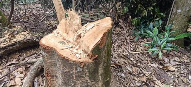 Tự ý mở đường, tạo điều kiện cho lâm tặc phá rừng - 2