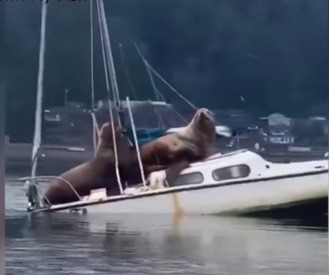 """Cặp hải cẩu to lớn """"hồn nhiên"""" thư giãn trên thuyền buồm nhỏ - 1"""