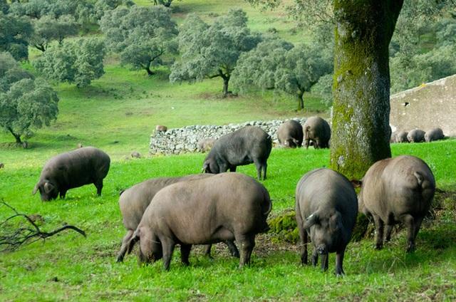 Đùi lợn đắt nhất thế giới: Hơn 100 triệu đồng/ chiếc - 2