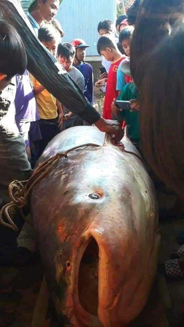 Nông dân An Giang bắt được cá quý 230kg, bán 46 triệu đồng - 1