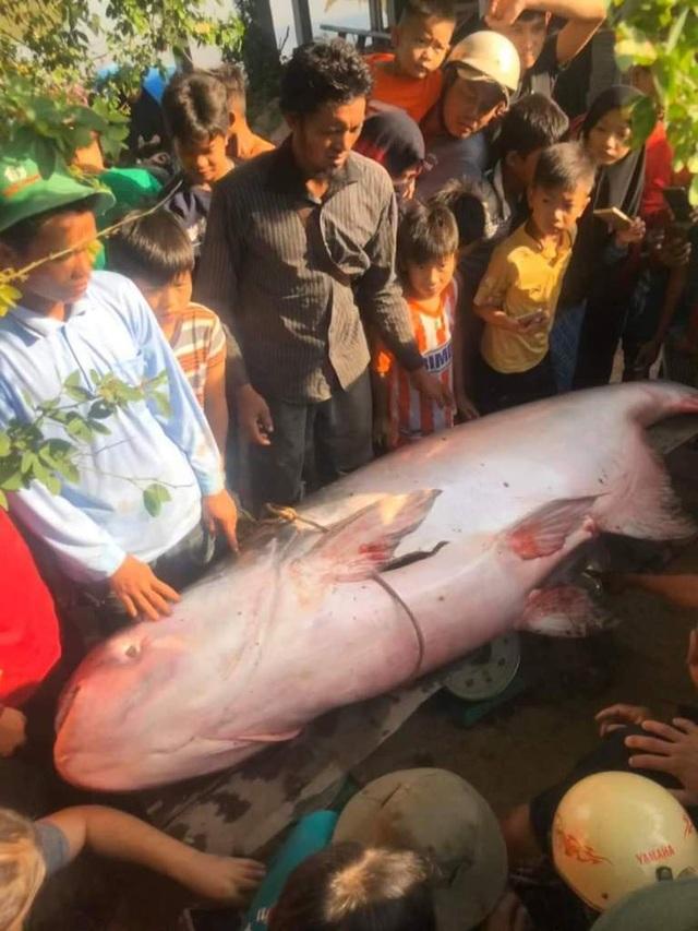 Nông dân An Giang bắt được cá quý 230kg, bán 46 triệu đồng - 2
