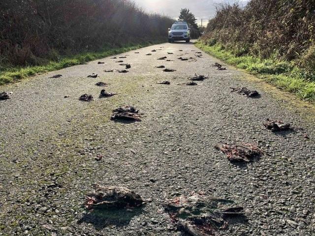 Bí ẩn hàng trăm con chim sáo chết la liệt trên đường quốc lộ - 1