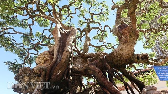 Đồng Nai: Cây me khủng 60 năm tuổi đã kết trái vẫn còn ra hoa - 3