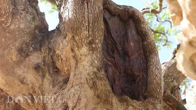 Đồng Nai: Cây me khủng 60 năm tuổi đã kết trái vẫn còn ra hoa - 5