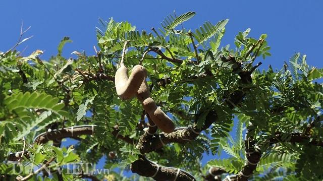 Đồng Nai: Cây me khủng 60 năm tuổi đã kết trái vẫn còn ra hoa - 8