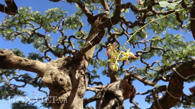 Đồng Nai: Cây me khủng 60 năm tuổi đã kết trái vẫn còn ra hoa - 9