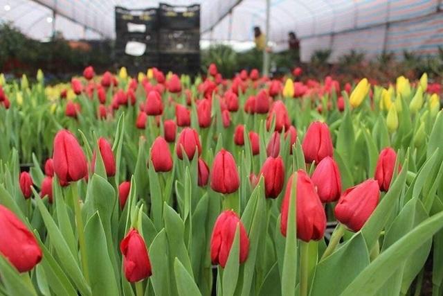 Trồng hoa tulip bán dịp Tết mang lại lợi nhuận kinh tế cao - 1